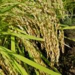 2018年新潟県産米の作況指数は?【10月31日付】