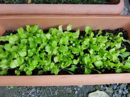 【家庭菜園】秋~冬に植えるおすすめのプランター野菜を紹介します。