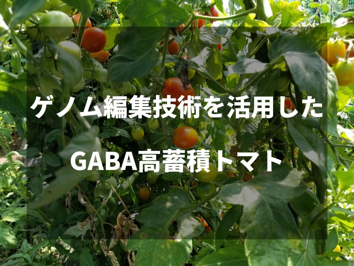 ゲノム編集技術を活用したGABA高蓄積トマトが日本で初承認