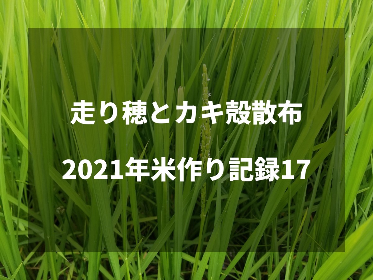 走り穂とカキ殻散布|2021米作り記録17